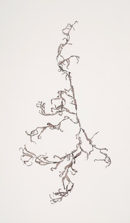 Andrew Seward, Seaweed 6, 2009, pencil