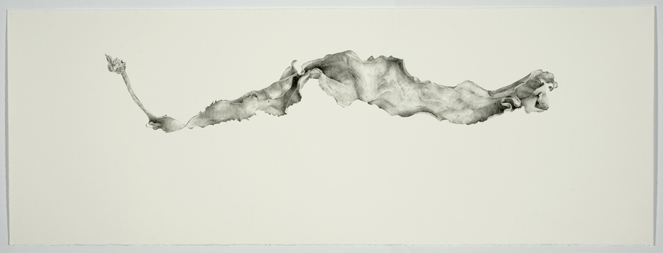Andrew Seward, Seaweed, 2012, pencil on paper